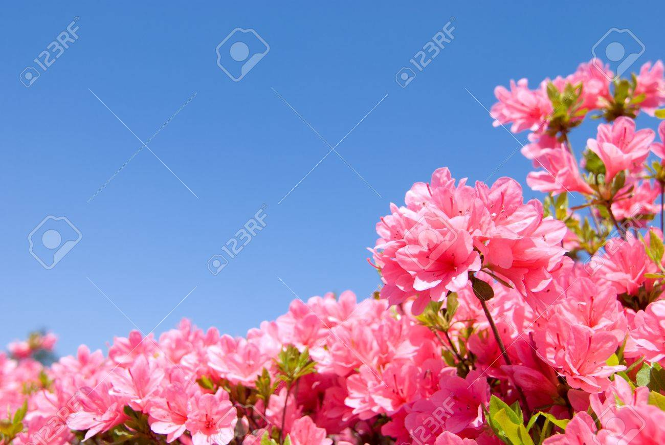 Full Blooming Bright Pink Azalea Flower And Blue Sky Stock Photo ...