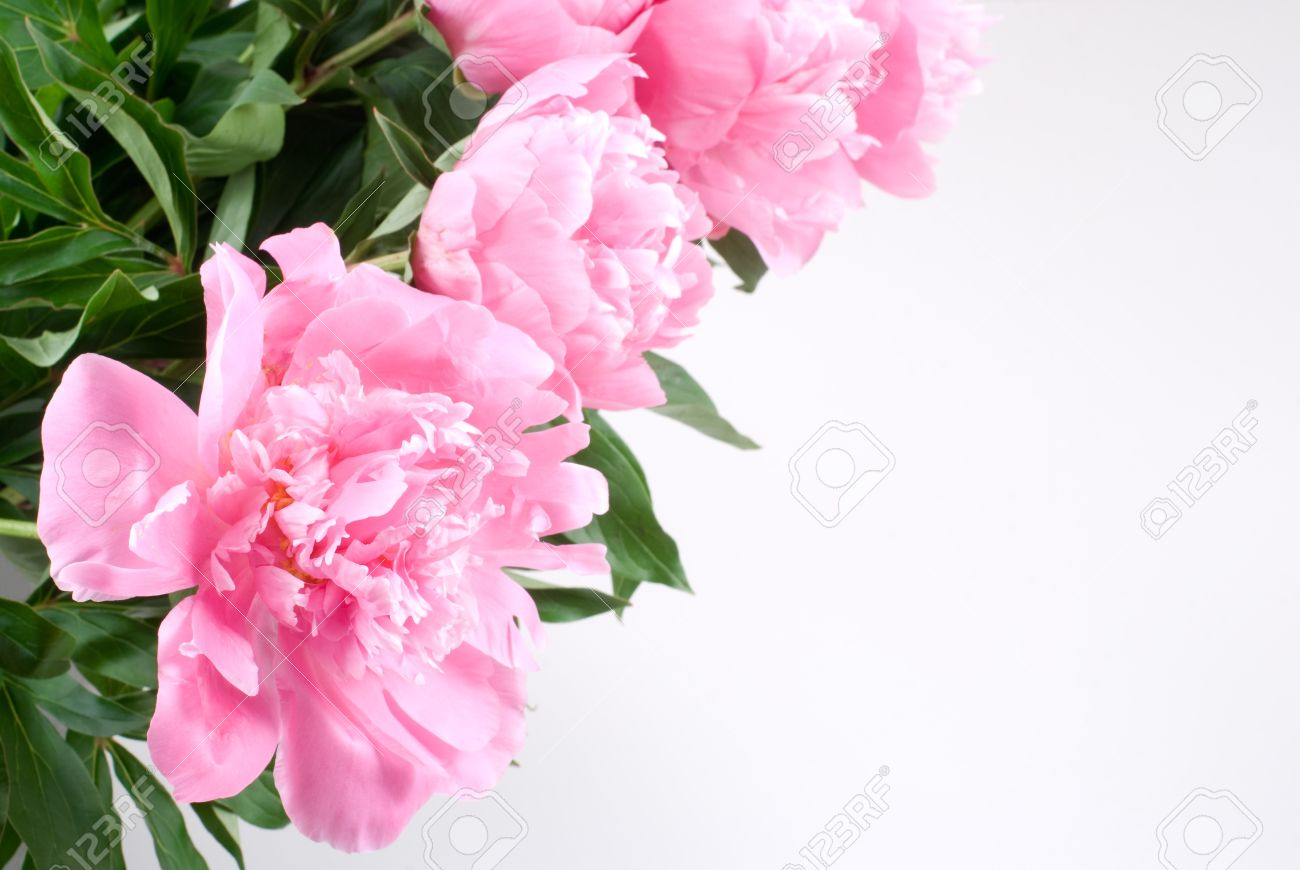 Bright pink peony flower arrangements on white background stock bright pink peony flower arrangements on white background stock photo 12052177 mightylinksfo
