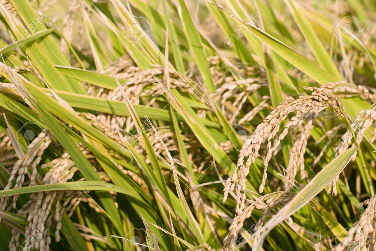 Harvest season of rice ear to turning yellow Stock Photo - 12917086