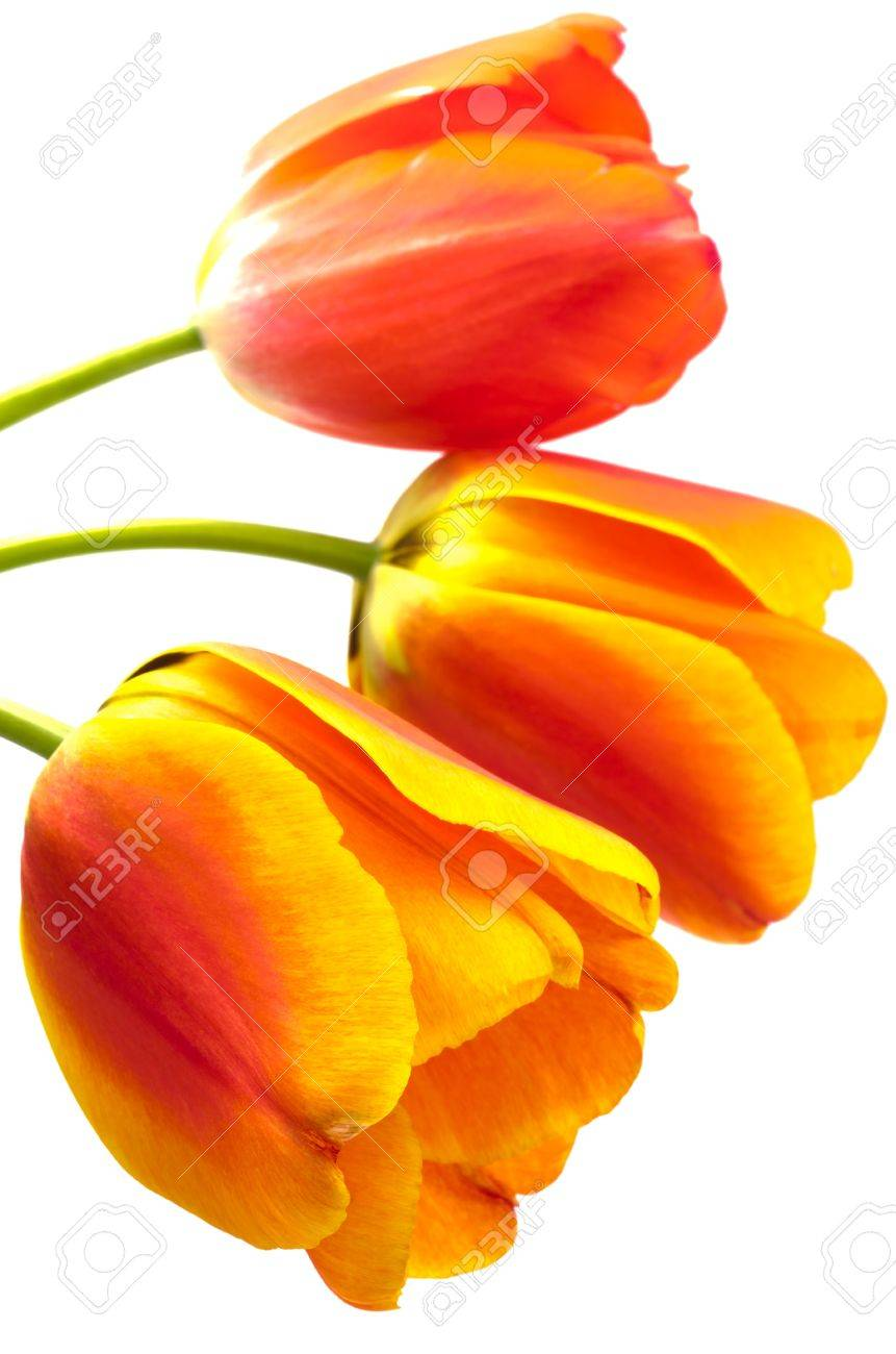 Three Gradient Warm Color Tulip Flowers On A White Background ...
