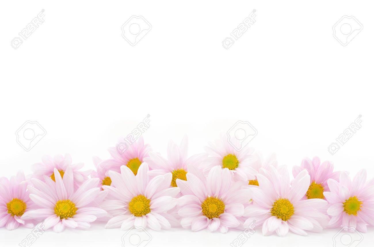 淡いピンクの菊の花白い背景の前...