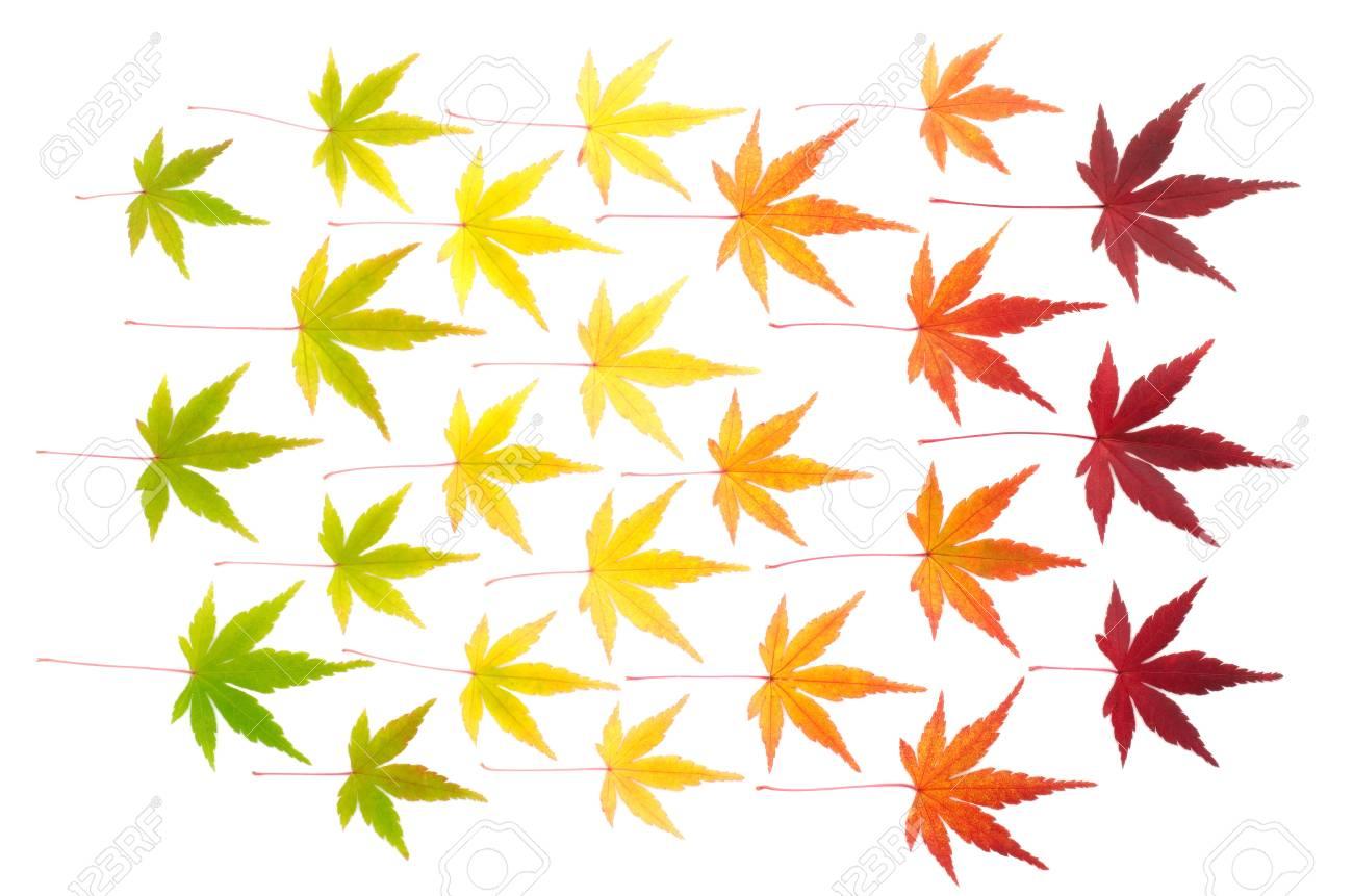 Arranged colorful autumn maple leaves isolated on white background Stock Photo - 16791408