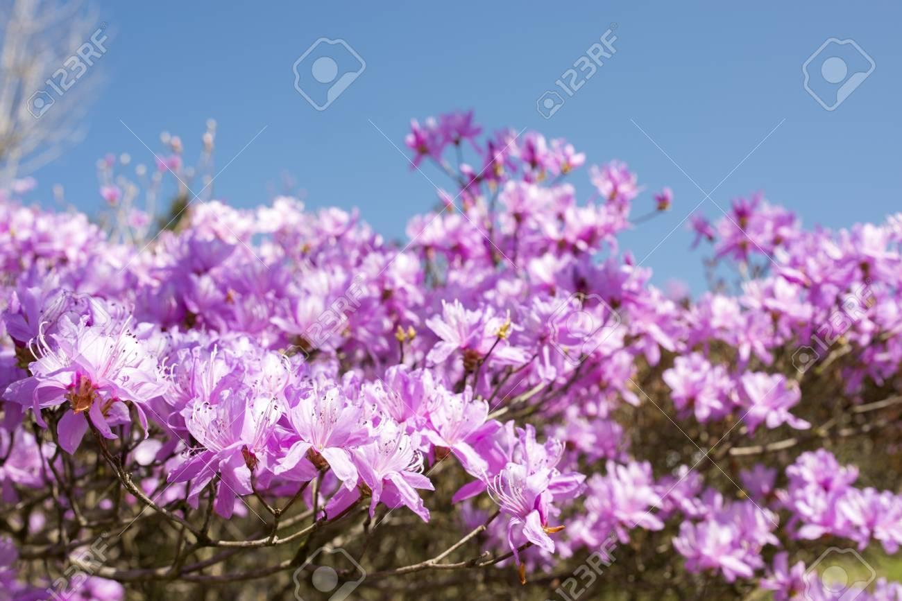 Flores De Azalea Purpura Rojo Bajo El Cielo Azul Fotos Retratos Imagenes Y Fotografia De Archivo Libres De Derecho Image 23083170