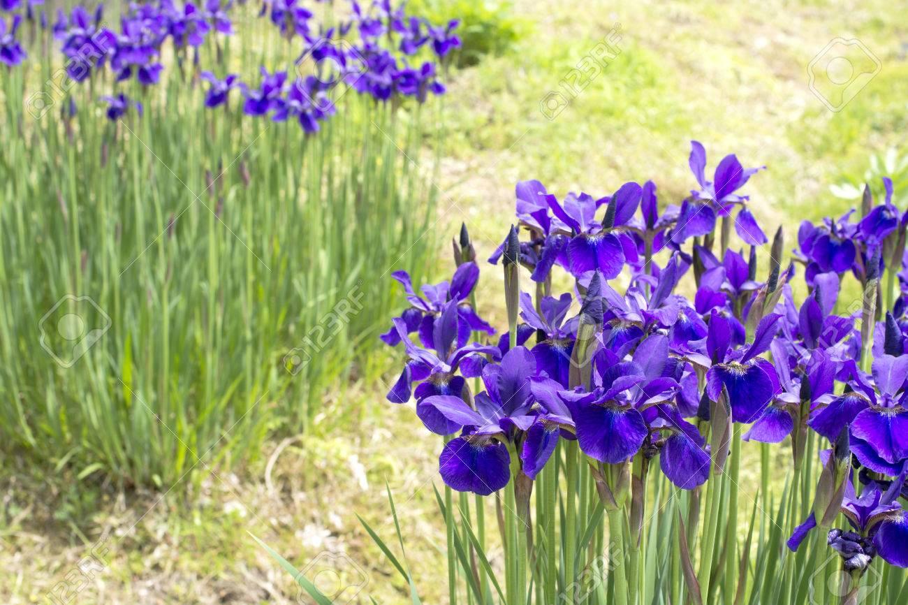 Purple siberian iris flowers in green field stock photo picture and purple siberian iris flowers in green field stock photo 30901985 izmirmasajfo