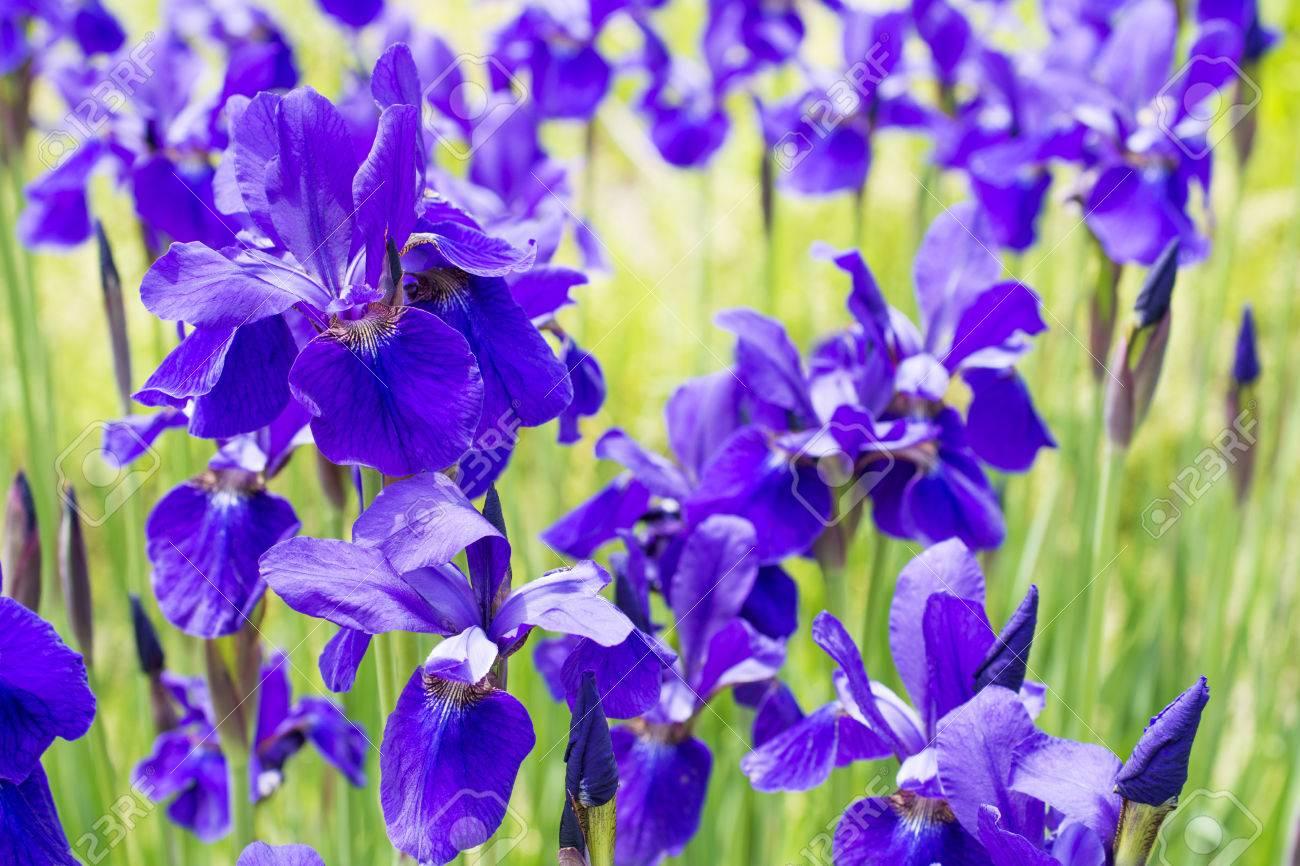 Close up full blooming purple siberian iris flowers stock photo close up full blooming purple siberian iris flowers stock photo 30901997 izmirmasajfo
