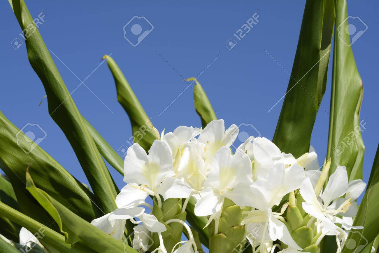 White Ginger Lily Flowers Under Blue Sky Stock Photo Picture And