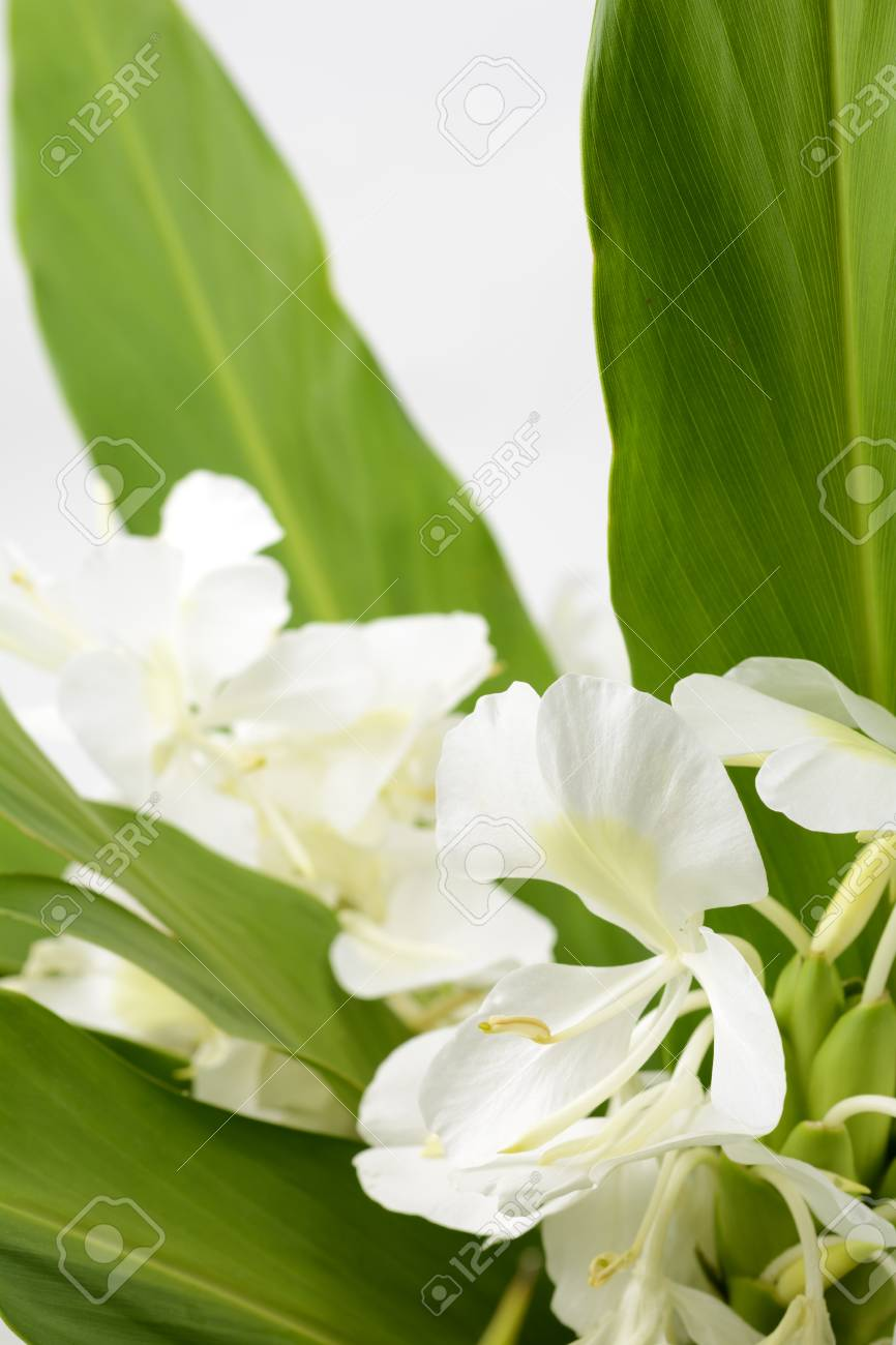 White Ginger Lily Flower In Vertical Composition Stock Photo