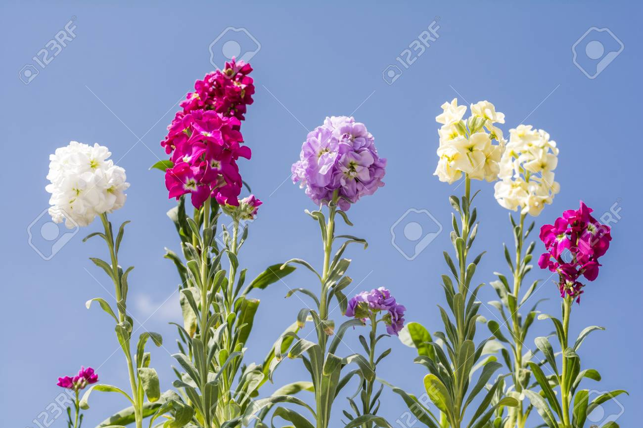 Line Of Colorful Snapdragon Flowers Under Blue Sky Stock Photo