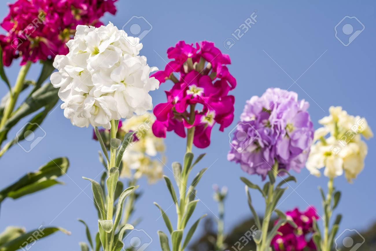 White snapdragon flower in front of bright flower blurs stock photo stock photo white snapdragon flower in front of bright flower blurs mightylinksfo