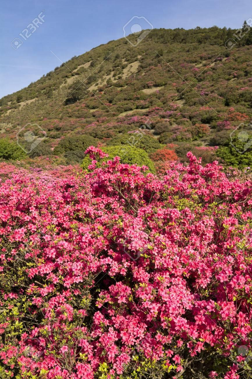 Brilliant Pink Azalea Flower Field In Front Of Hill In Vertical