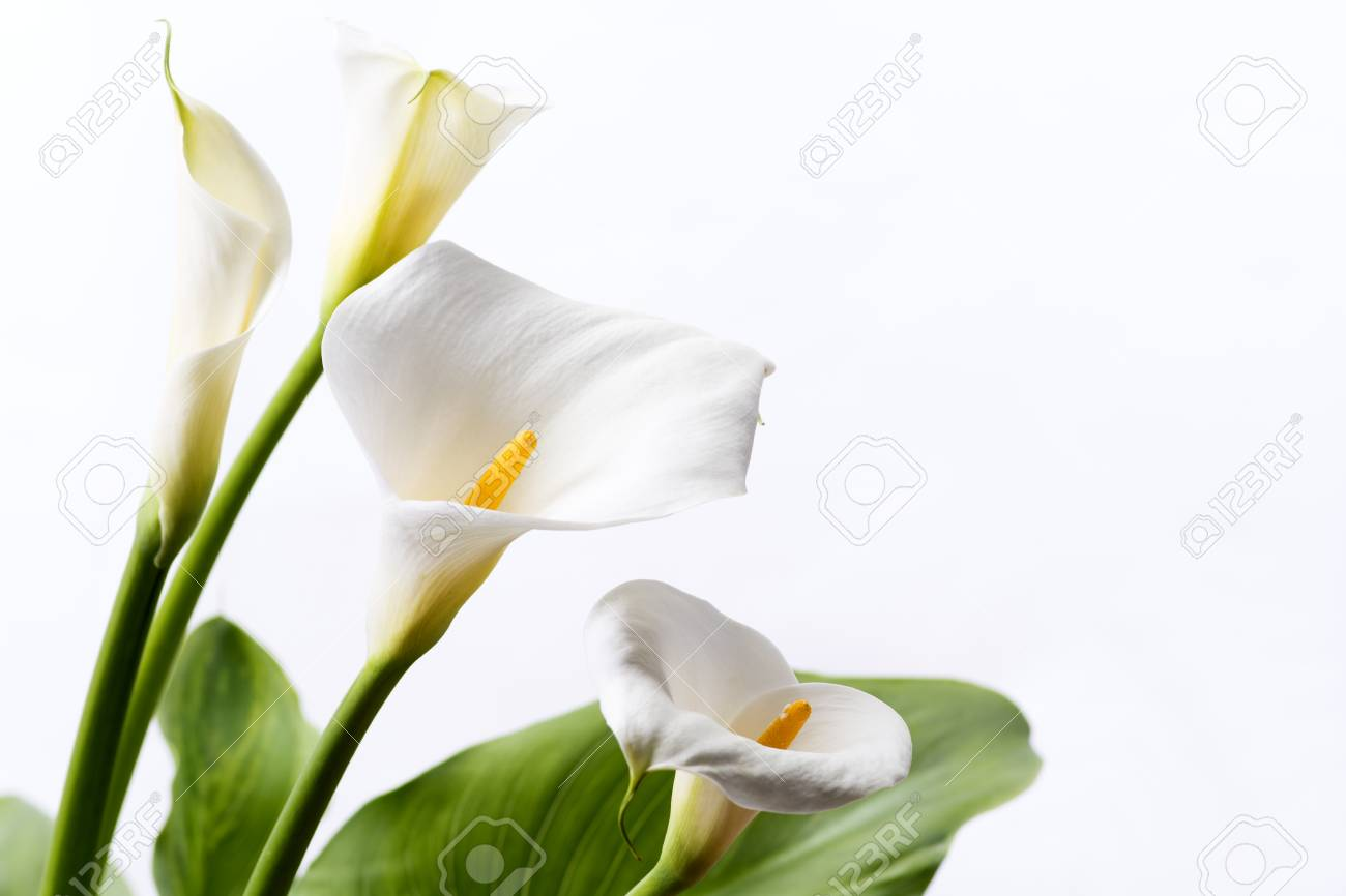 White Calla Lily Flowers In Front Of White Background Stock Photo