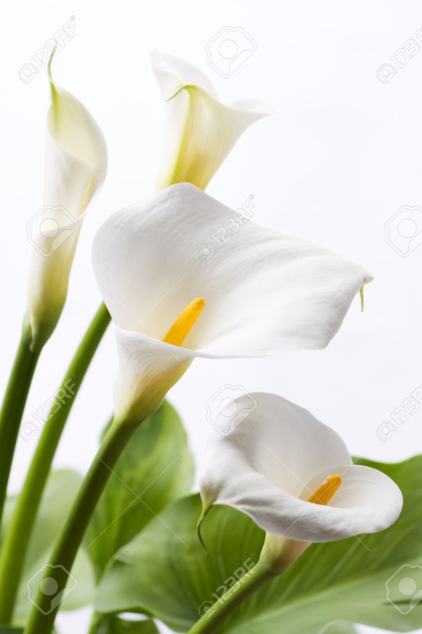 white calla lily flowers in front of white background in vertical composition stock photo - Calla Lily Flower