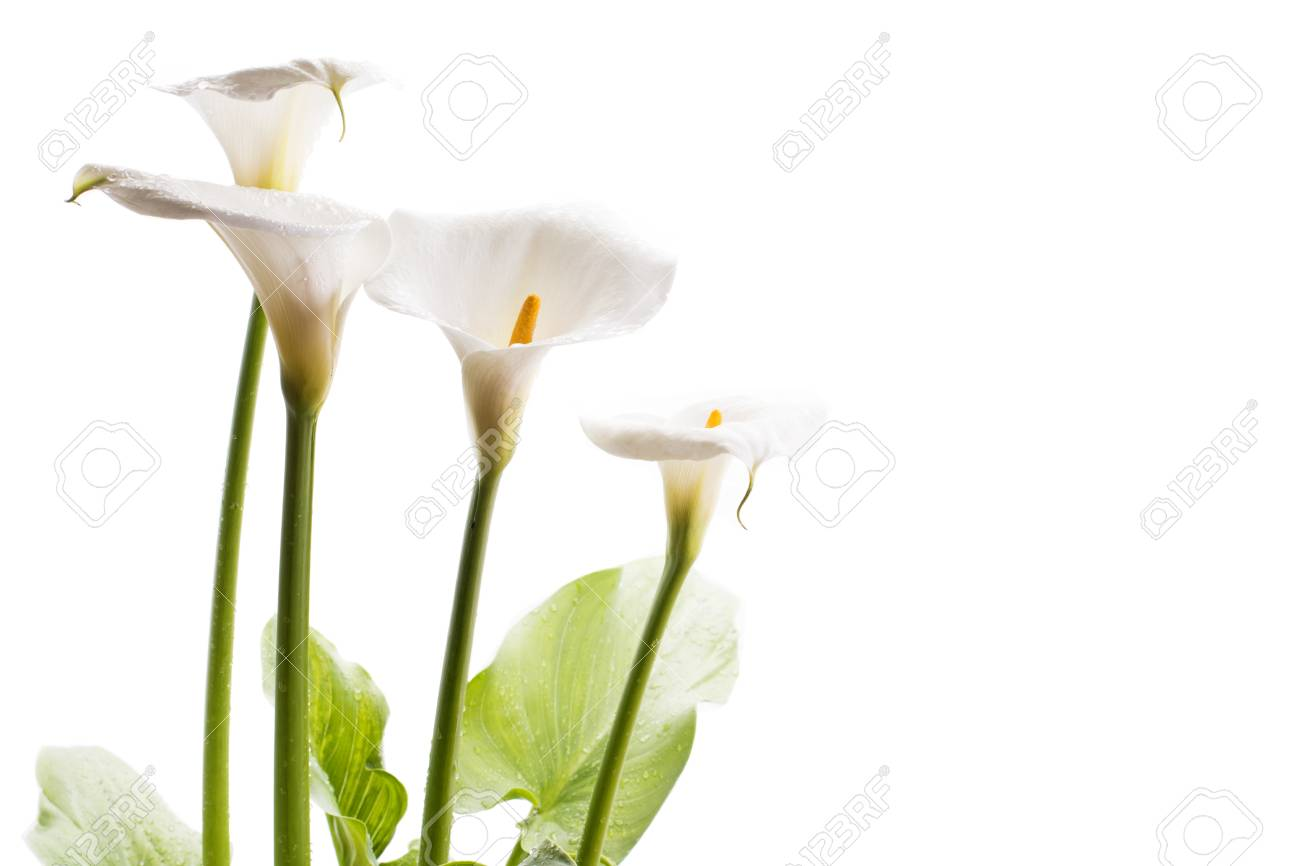 White calla lily flowers in front of white background stock photo stock photo white calla lily flowers in front of white background izmirmasajfo
