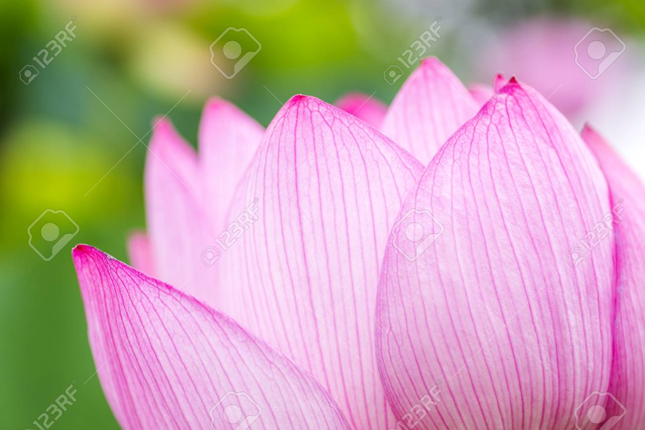 Close Up Pink Lotus Flower Petals In Summer Stock Photo Picture And