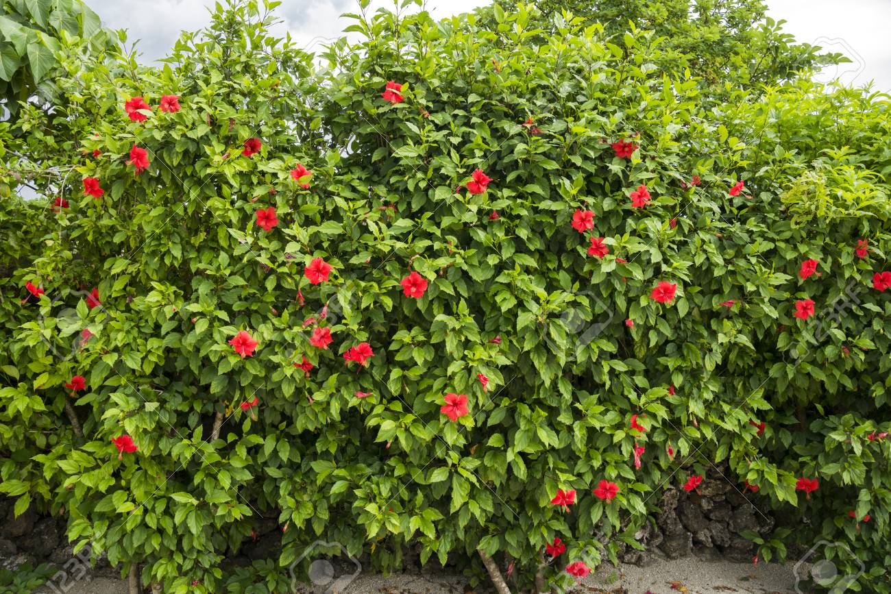 Hedge Of Chinese Hibiscus Trees With Red Flowers Stock Photo