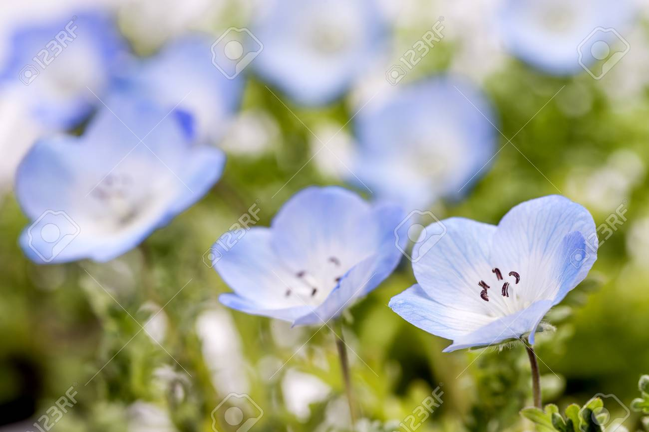 Close Up Baby Blue Eyes Flower In Early Spring Stock Photo, Picture ...