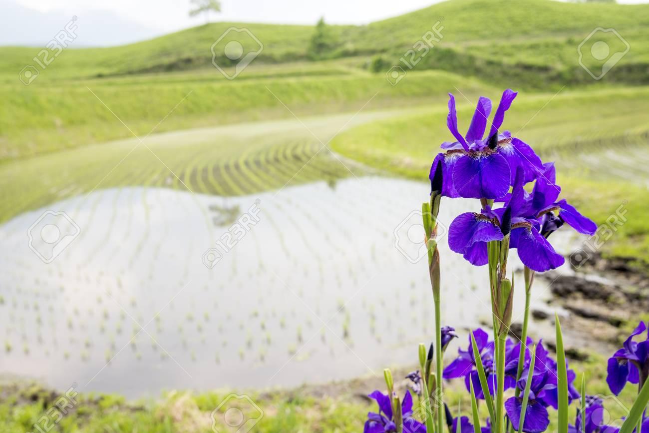Purple siberian iris flowers blooming in front of paddy field stock purple siberian iris flowers blooming in front of paddy field stock photo 93859137 izmirmasajfo