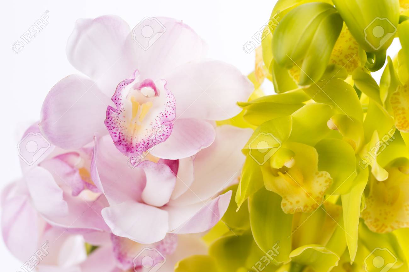 pale pink and yellow green orchid flowers in front of white