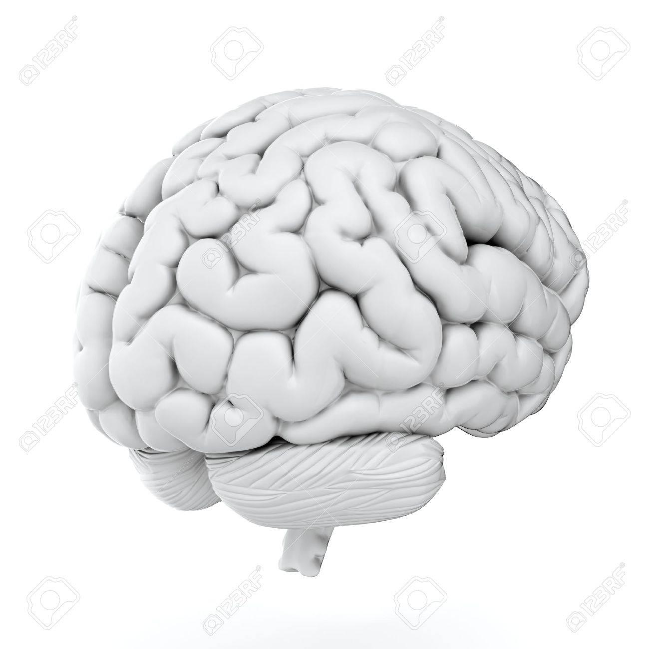 3D-Darstellung Von Gehirn Auf Weißem Hintergrund Lizenzfreie Fotos ...