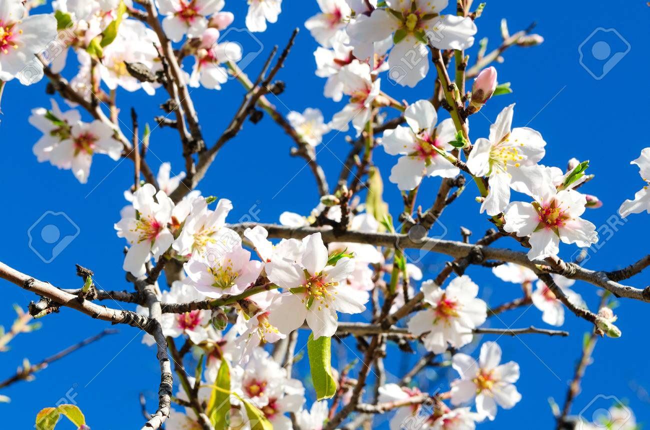 Beautiful Blooming Almond Tree With Flowers In Full Bloom In Stock