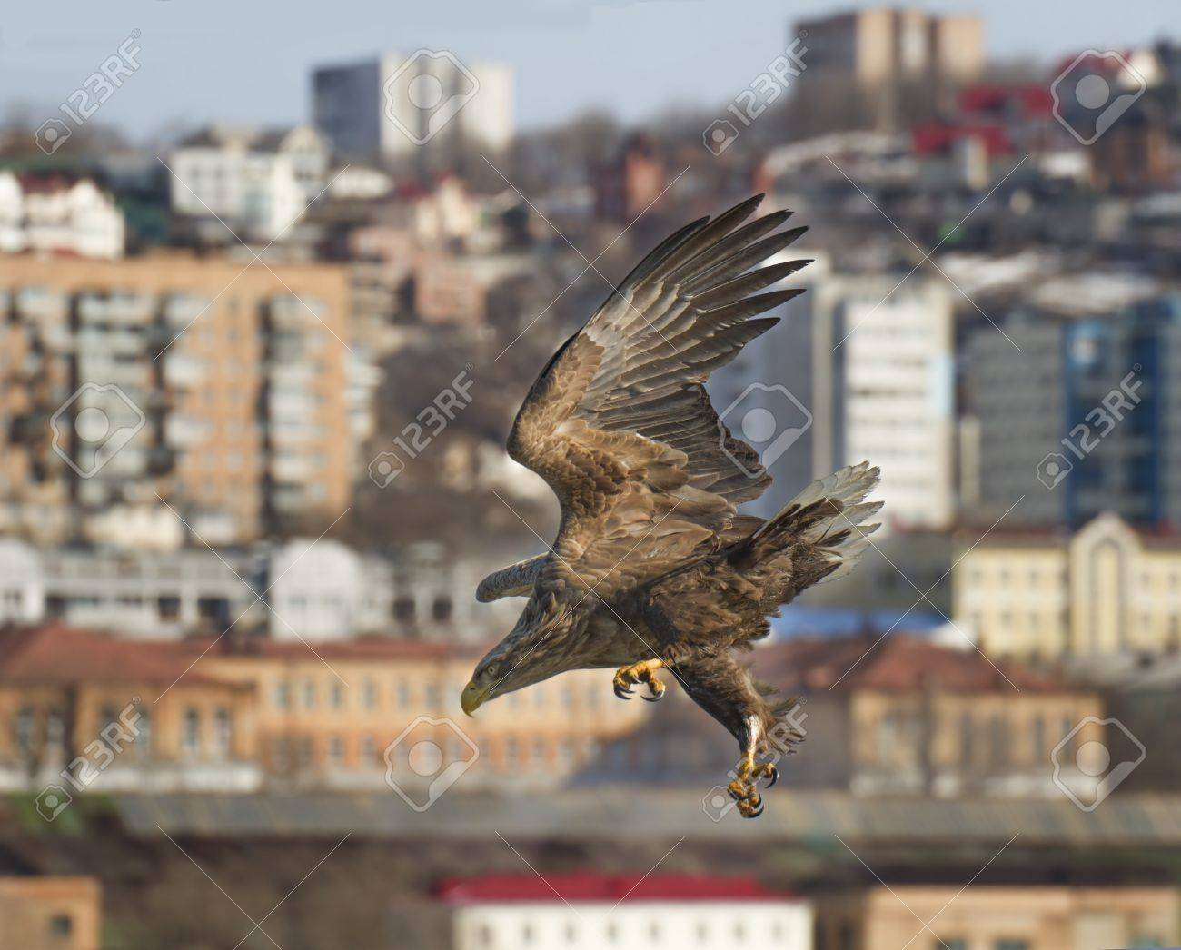 Rush White Tailed Eagle Over The City Vladivostok Russia Stock