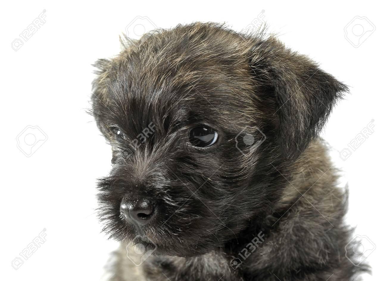 Puppy cairn terrier portrait in studio