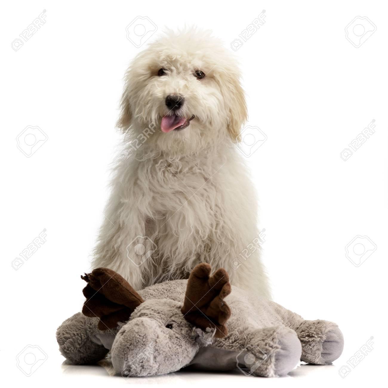 Studio Shot Of A Cute Tibetan Terrier Puppy With Reindeer Plush