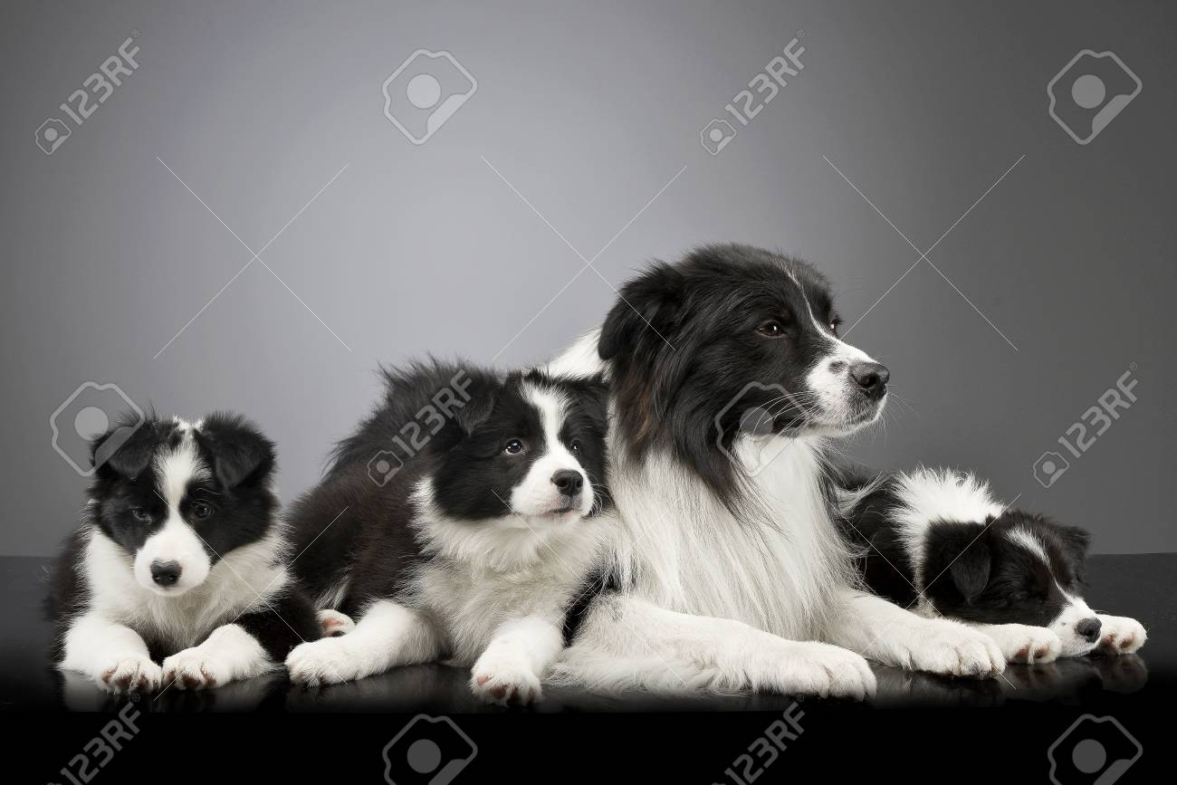 Studio Shot Of Three Cute Border Collie Puppy With Their Mother Stock Photo Picture And Royalty Free Image Image 77463272