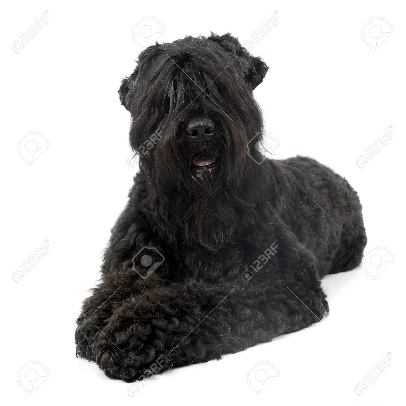 Studio Shot Of An Adorable Black Russian Terrier Lying On White