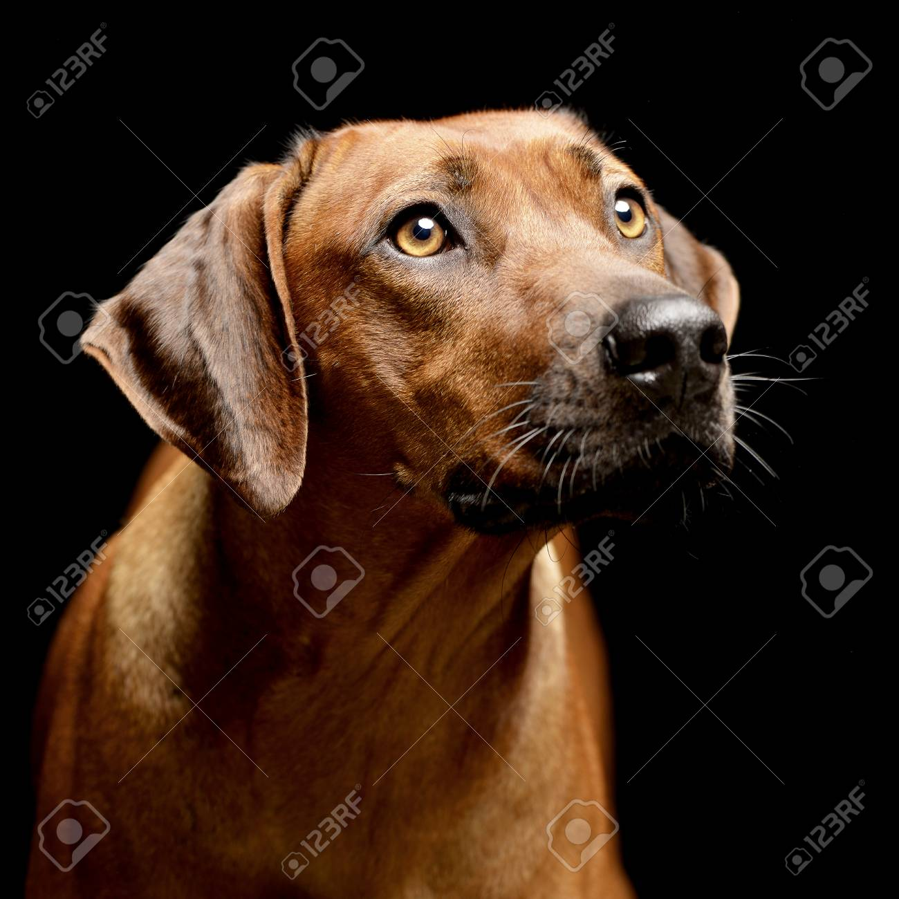 Top Rhodesian Ridgeback Brown Adorable Dog - 77689518-portrait-of-an-adorable-rhodesian-ridgeback-studio-shot-isolated-on-black-  2018_396660  .jpg
