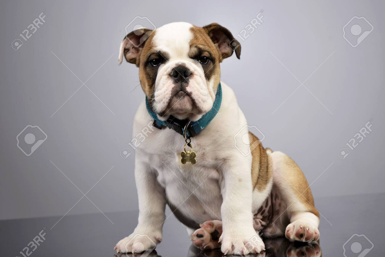 Studio Shot Of An Adorable English Bulldog Puppy Sitting On Grey Stock Photo Picture And Royalty Free Image Image 77704780