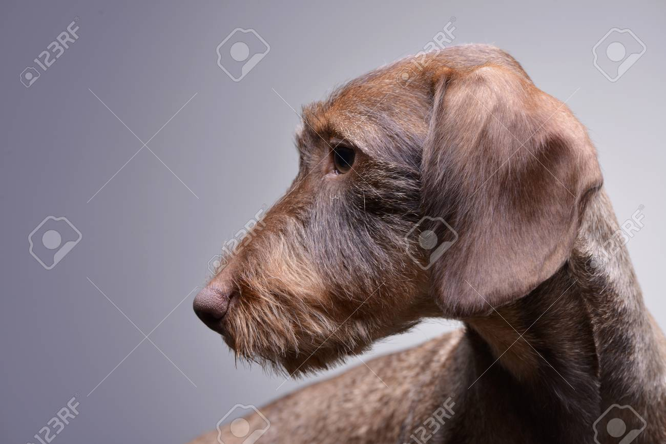 Portrait Of A Cute Dachshund Puppy Studio Shot Isolated On Stock Photo Picture And Royalty Free Image Image 77833102