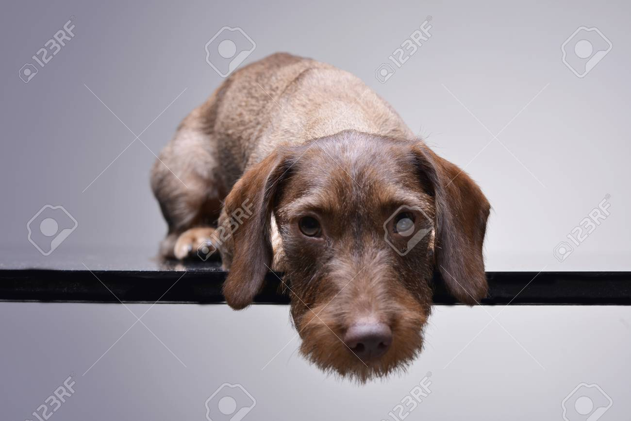 Studio Shot Of A Cute Dachshund Puppy Lying On Grey Background Stock Photo Picture And Royalty Free Image Image 77833103