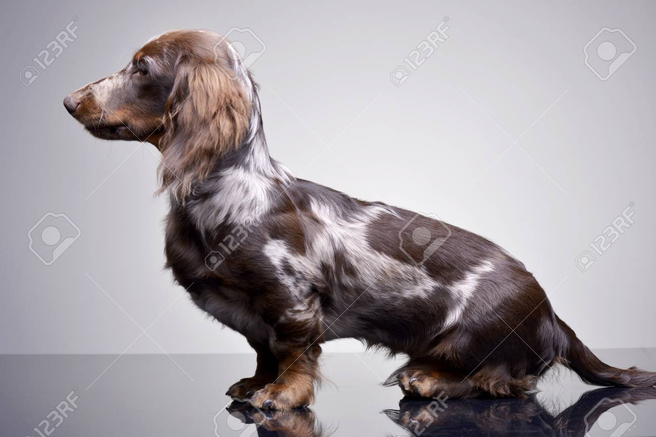 Studio Shot Of A Cute Dachshund Puppy Sitting On Grey Background Stock Photo Picture And Royalty Free Image Image 77833222