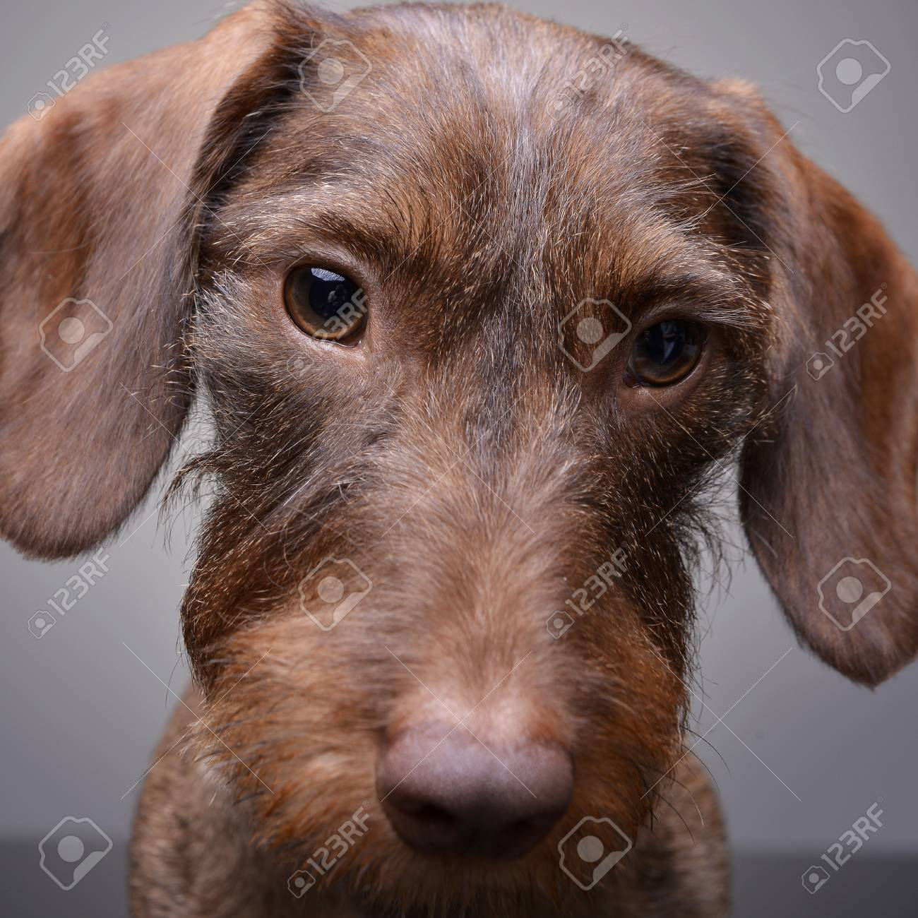Portrait Of A Cute Dachshund Puppy Studio Shot Isolated On Stock Photo Picture And Royalty Free Image Image 77833232