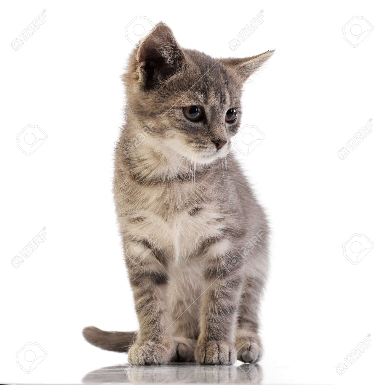 Studio shot of an adorable domestic kitten standing on white background. - 125791091
