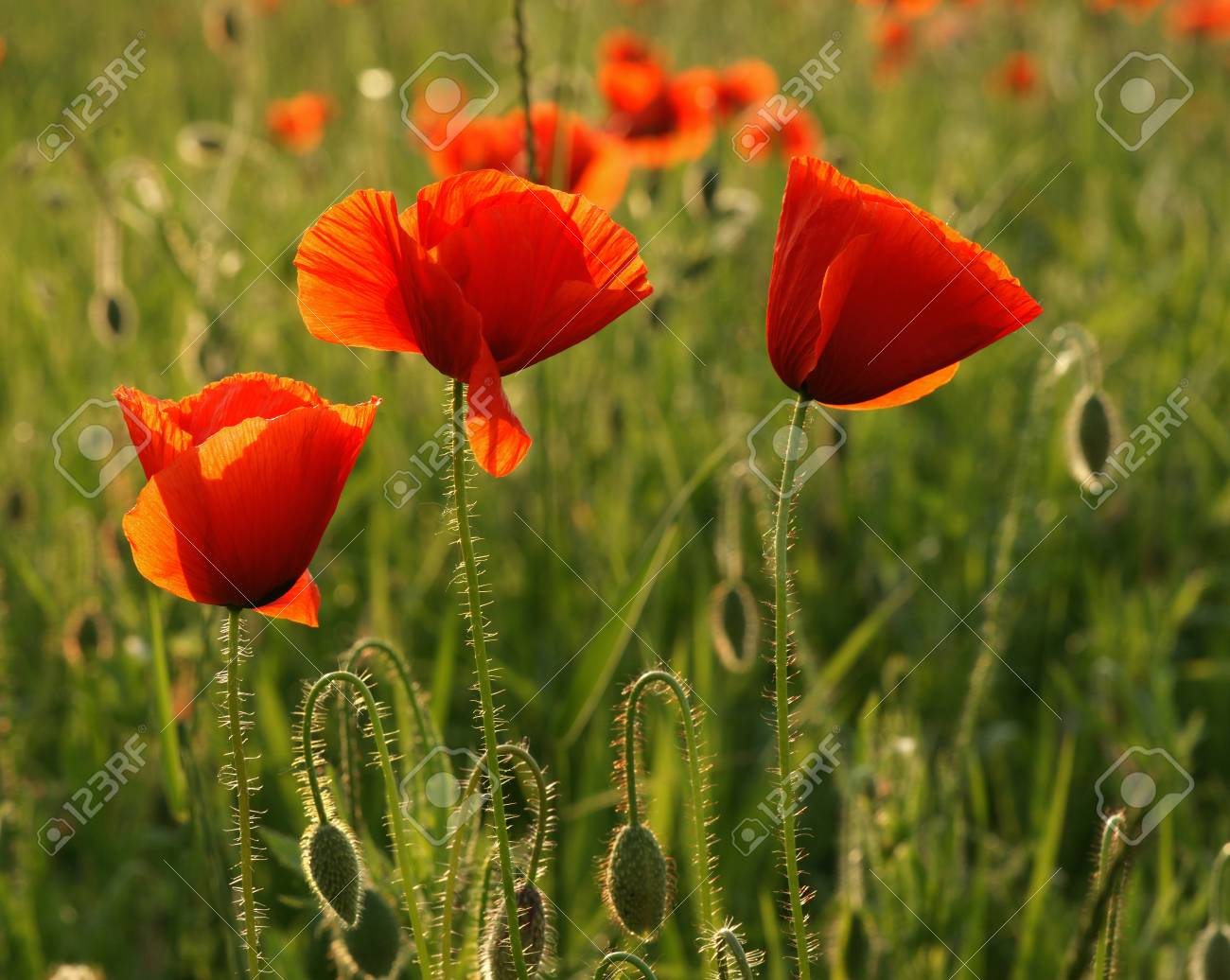 Close Up Of Red Poppy Flowers In Summer Stock Photo Picture And