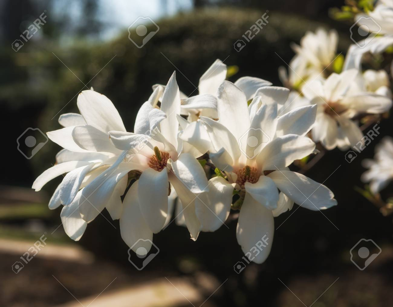 White magnolia flowers in the sunlight blooming magnolia tree stock photo white magnolia flowers in the sunlight blooming magnolia tree with white flowersgnolia kobus mightylinksfo