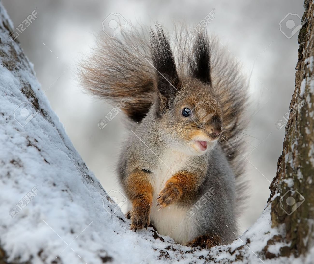 The squirrel on a tree, cold winter. Stock Photo - 5637047