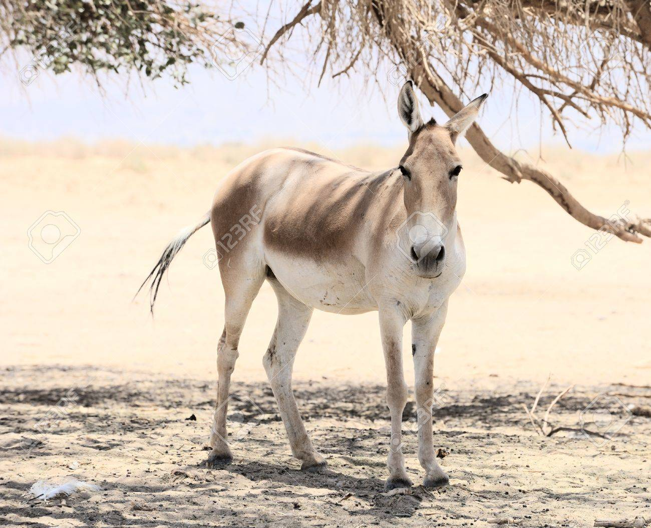 https://previews.123rf.com/images/vblinov/vblinov1109/vblinov110900037/10618009-Onager-in-the-reserve-Hai-Bar-Yotvata-in-southern-Israel--Stock-Photo.jpg