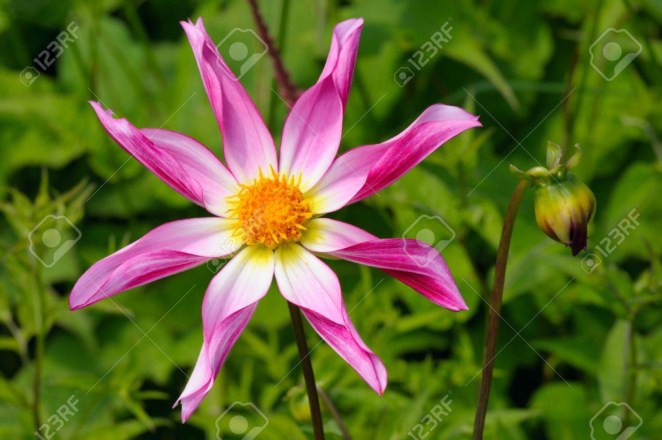 Tall Dahlia Plant With Large Flowers Variety Marie Schnugg Stock