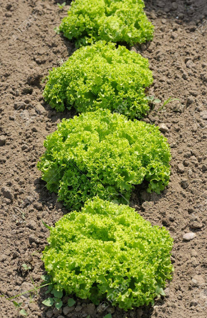 Lettuce Lollo Bionda Bright Green Plants In The Garden Stock Photo Picture And Royalty Free Image Image 20185788