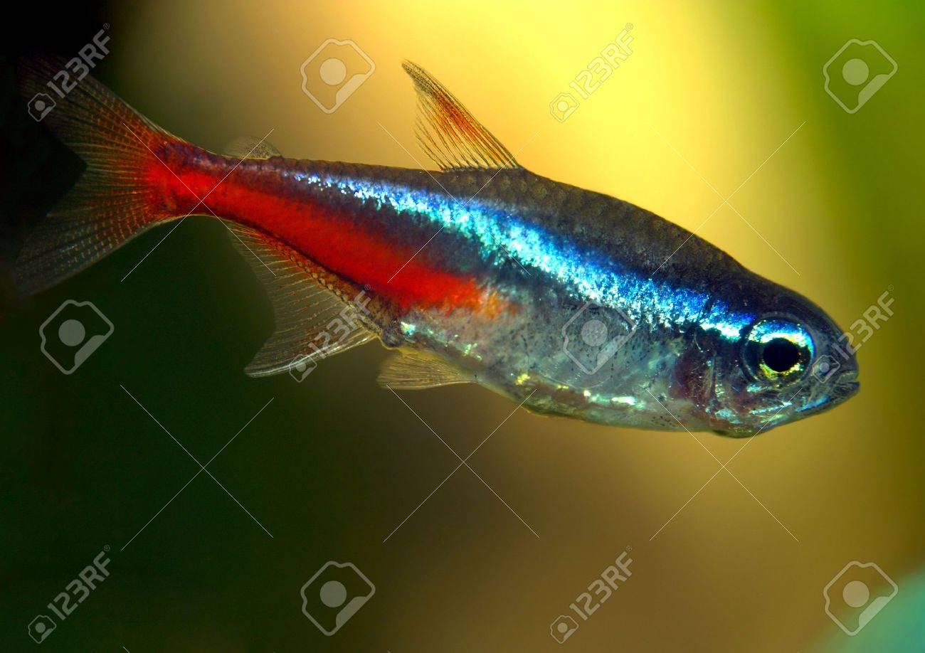 Freshwater aquarium fish neon - Aquarium Fish Neon Tetra Stock Photo 4674716