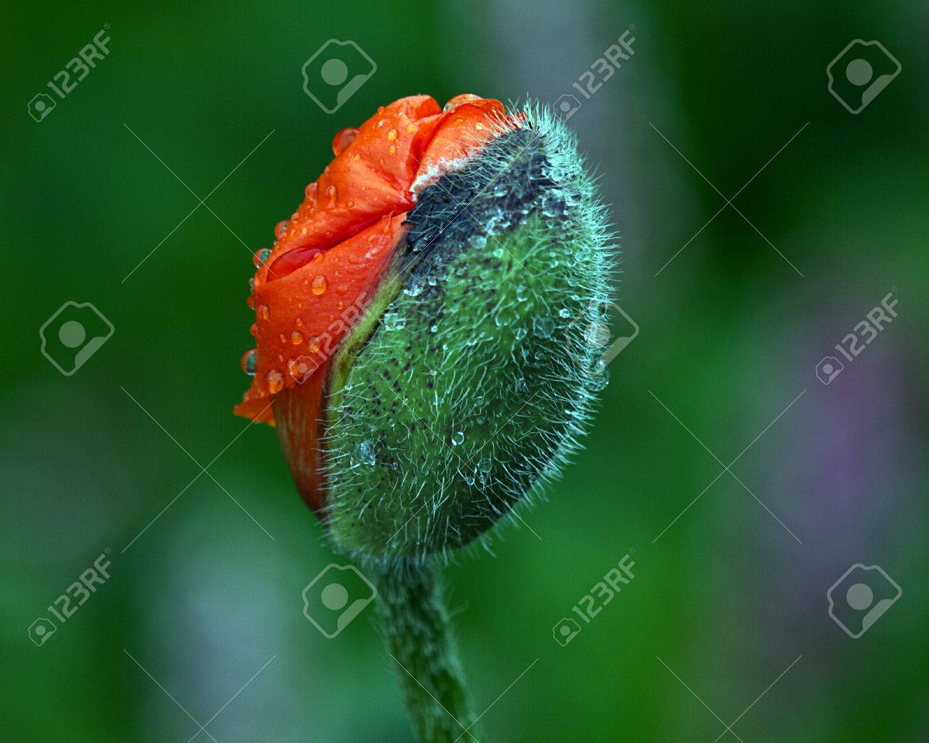 Poppy Flower Bud Stock Photo Picture And Royalty Free Image Image