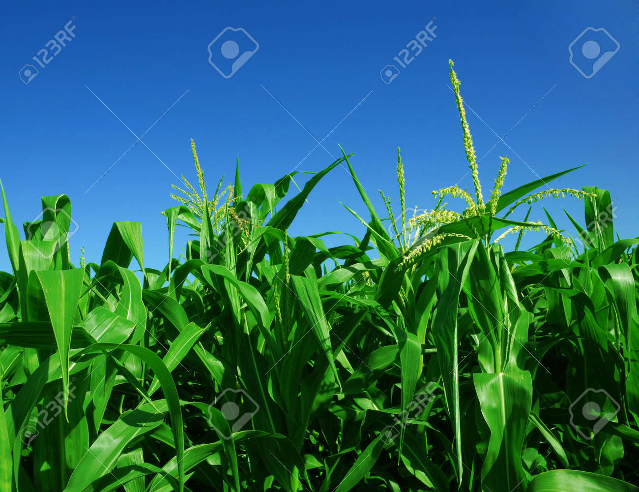 corn field over clear blue sky Stock Photo - 3780365