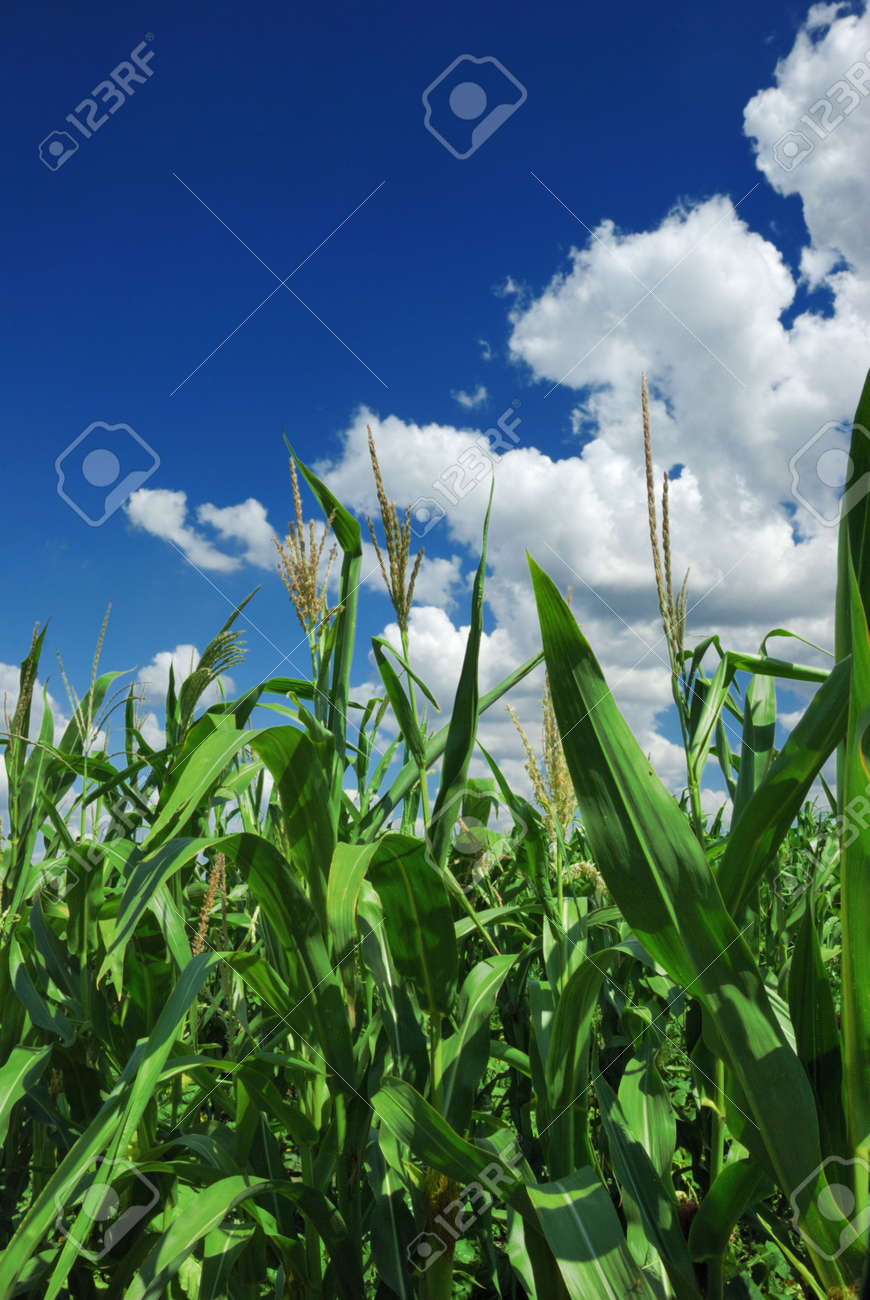 corn plant over cloudy blue sky Stock Photo - 3990333