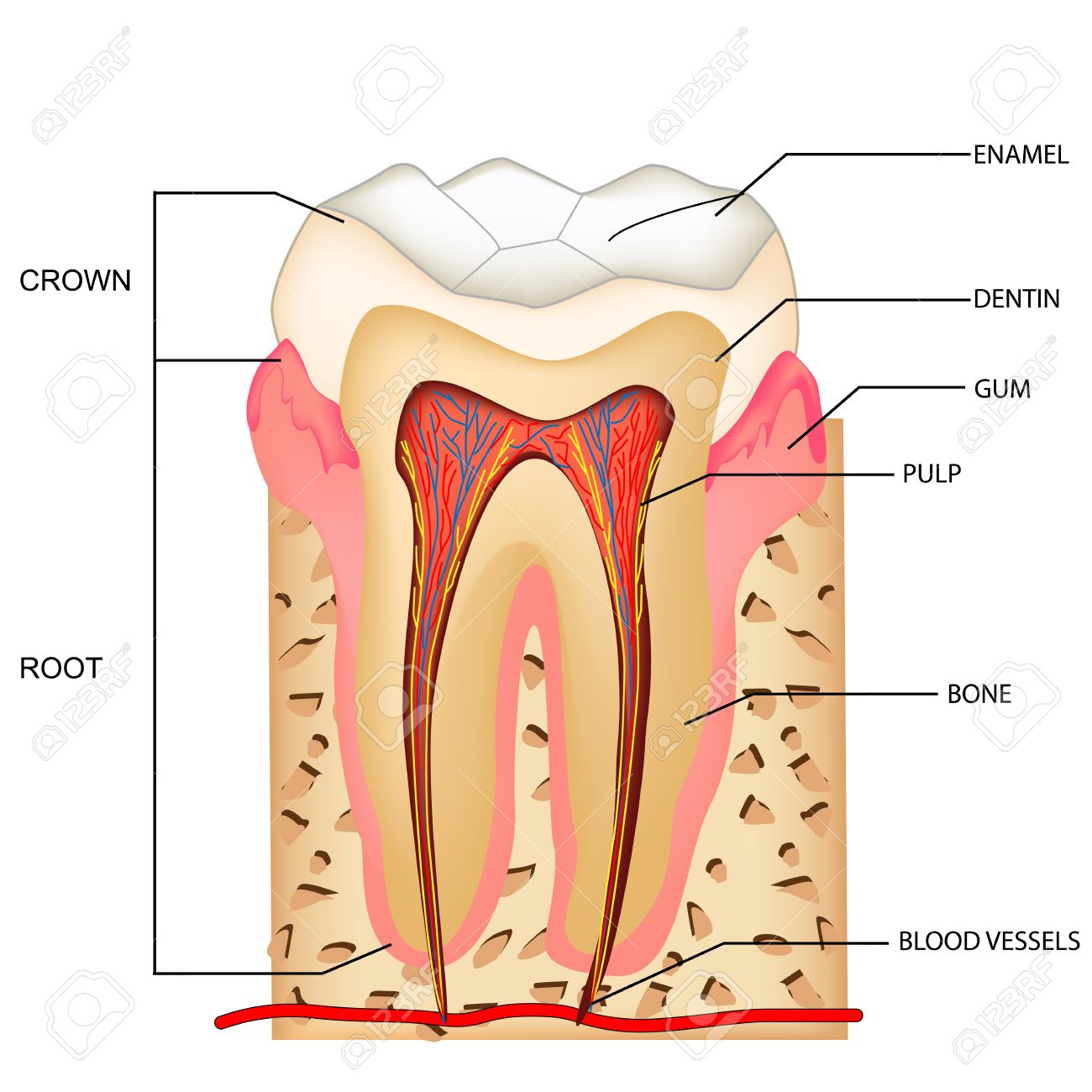 Illustration Of Anatomy Of Teeth With Labeling Royalty Free Cliparts