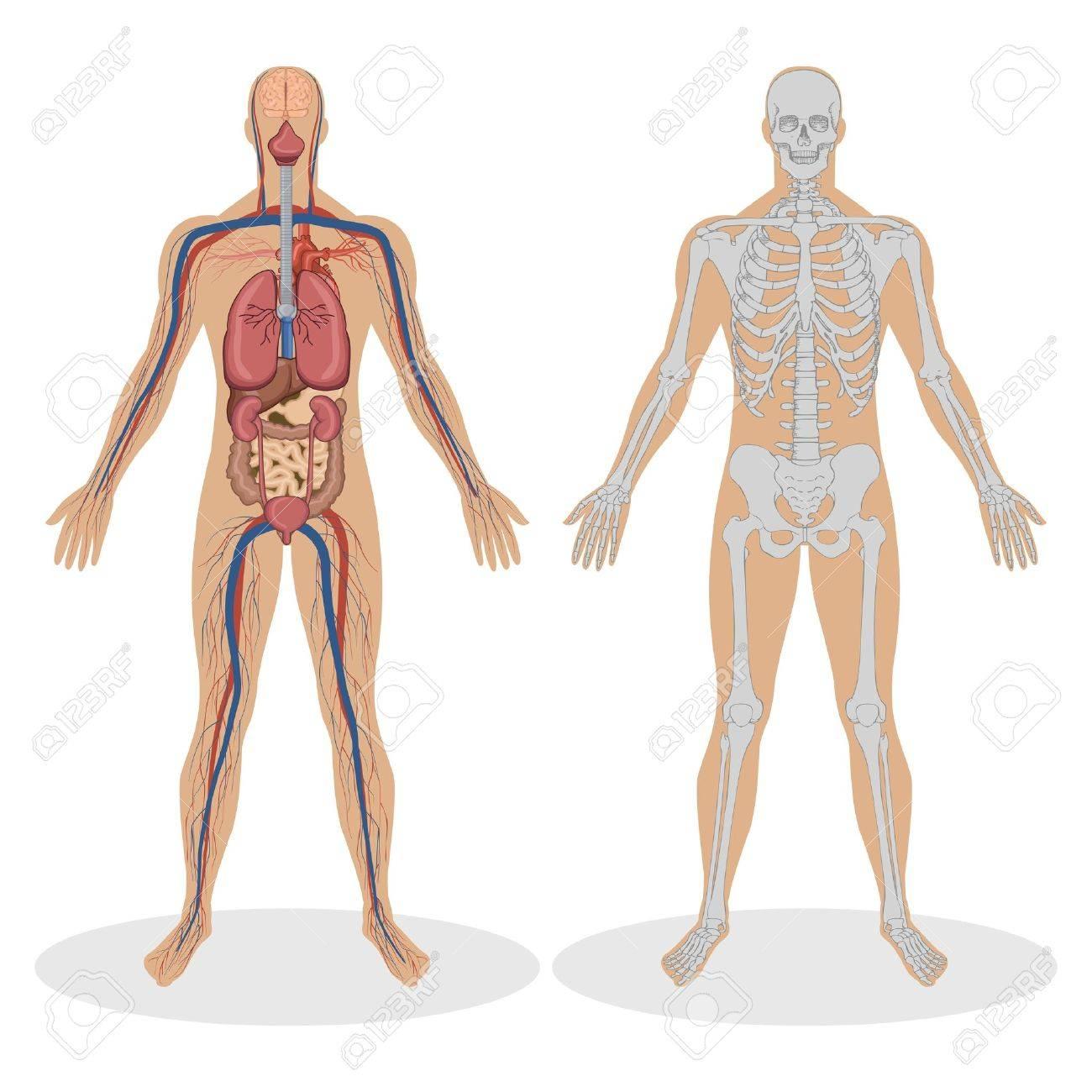 Ilustración De La Anatomía Humana Del Hombre Sobre Fondo Blanco ...
