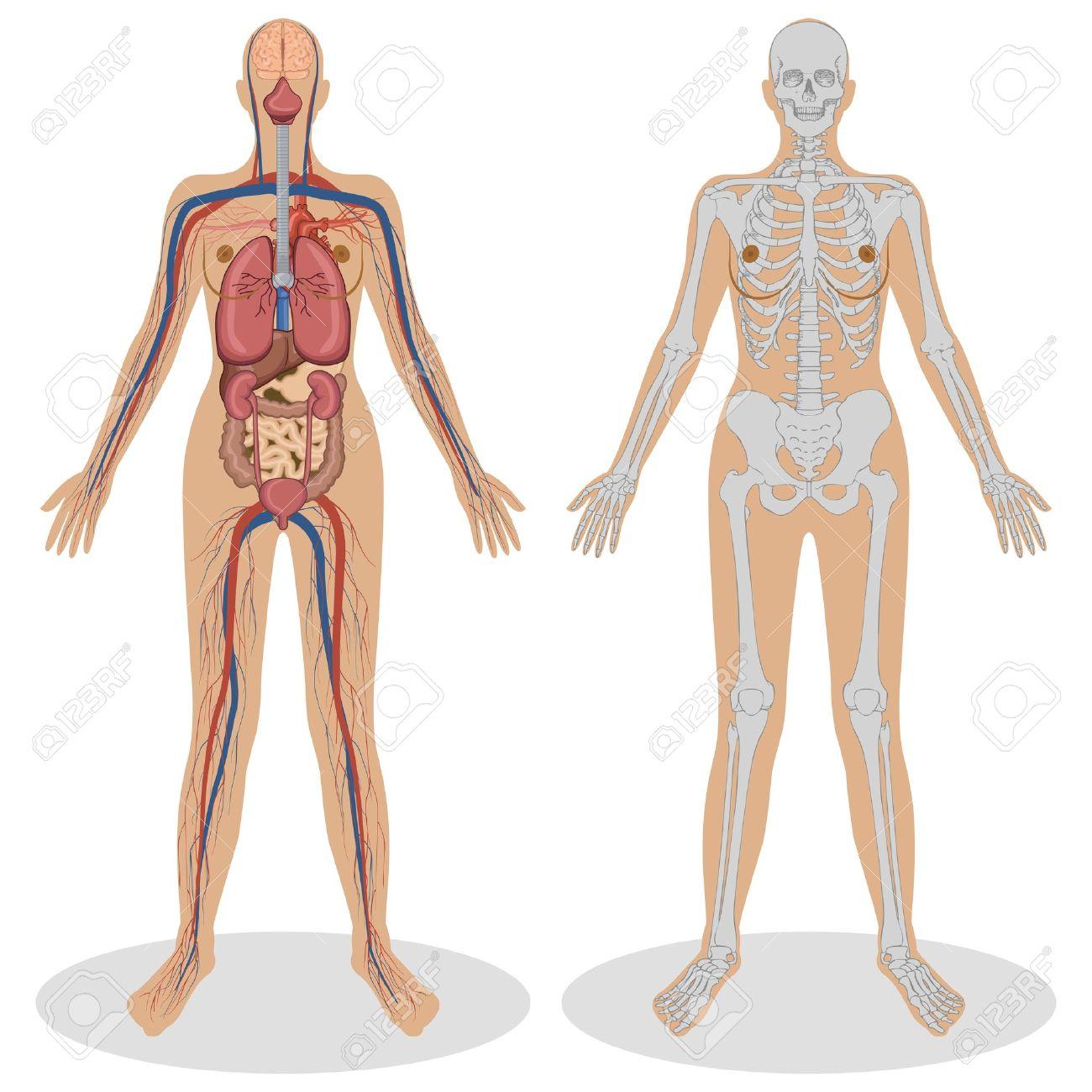 白い背景の上の女性の人体解剖学のイラスト ロイヤリティフリークリップ