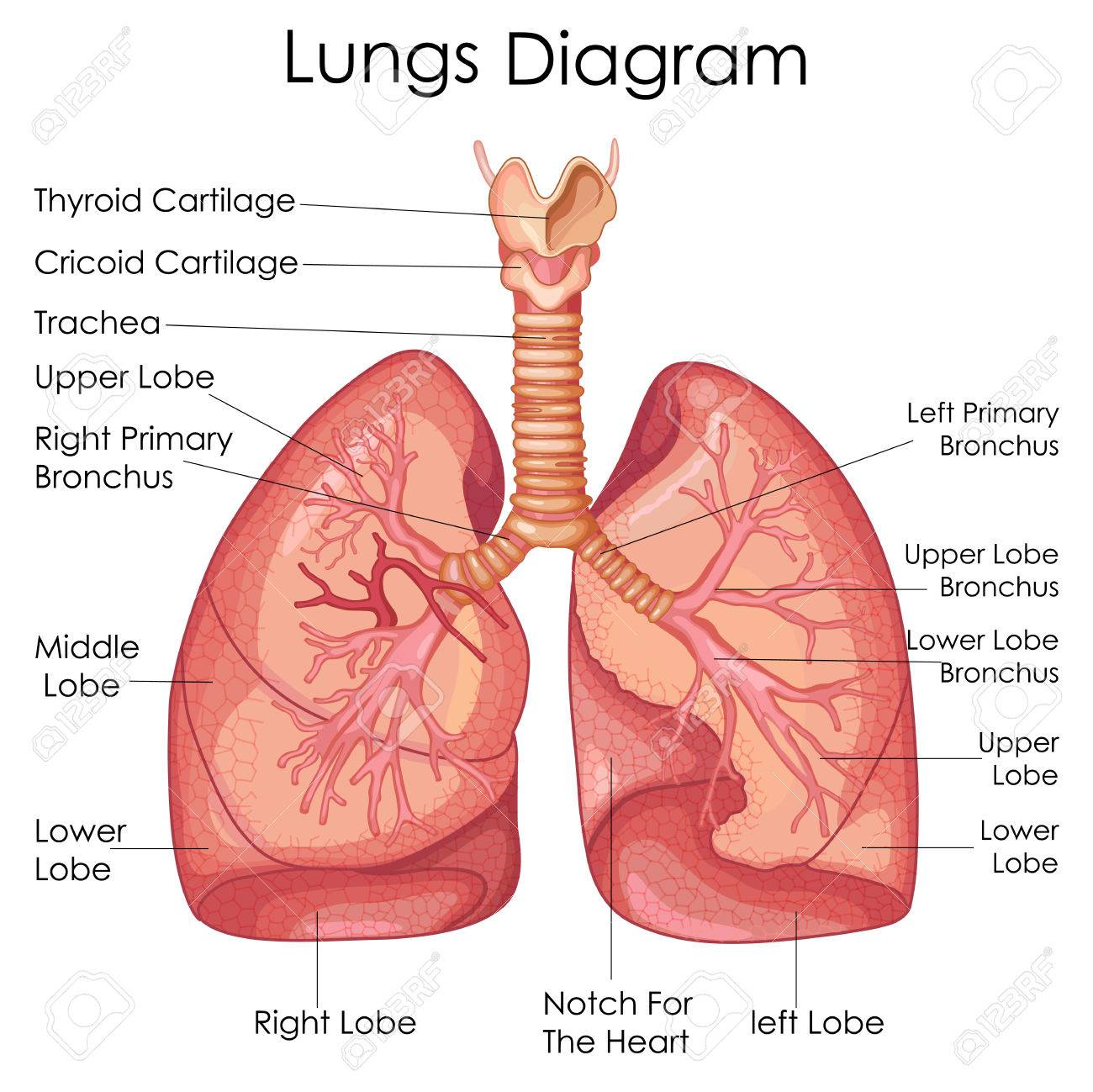 Medical Education Chart Of Biology For Lungs Diagram Vector